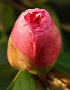 unopened Flower Bud